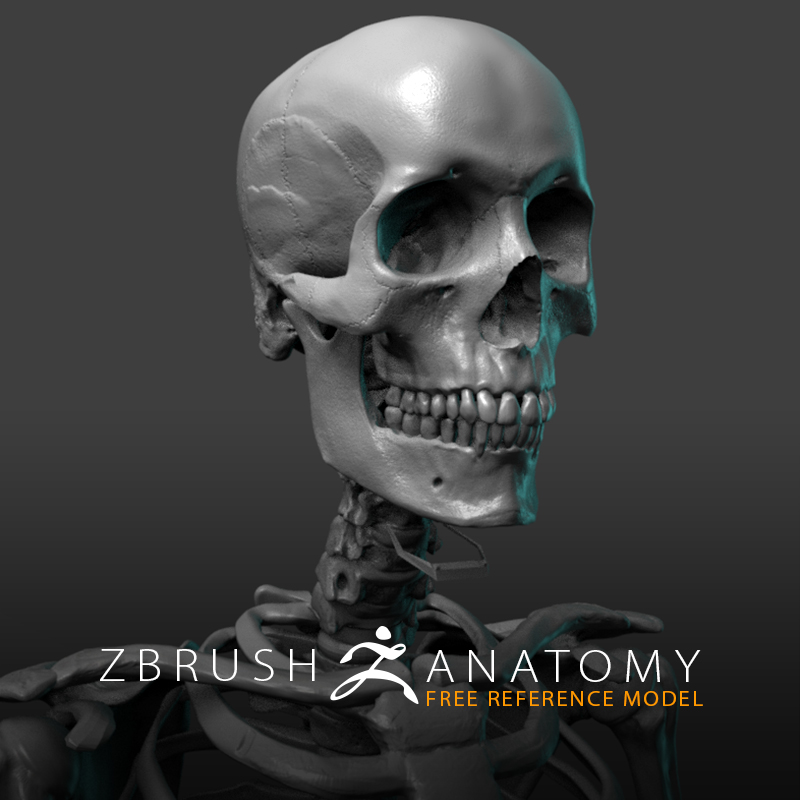 Free Skeleton Anatomy Reference Model