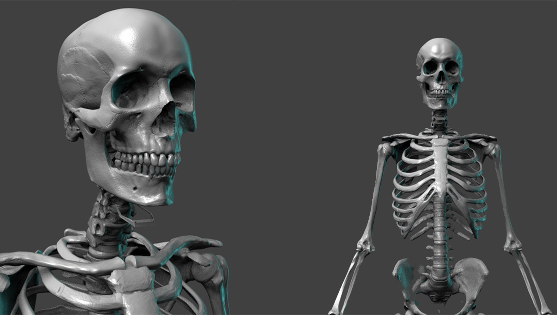 Free Skeleton Anatomy Reference Model Pixologic Zbrushlive
